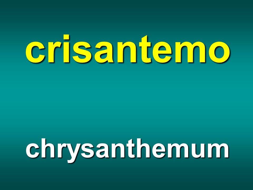 crisantemo chrysanthemum