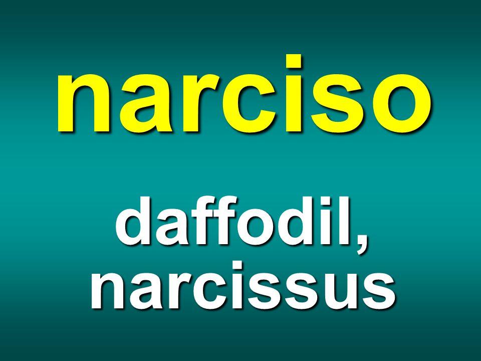 narciso daffodil, narcissus