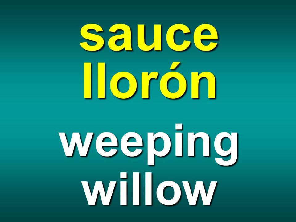 sauce llorón weeping willow