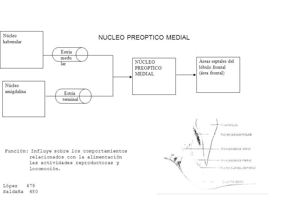 NUCLEO PREOPTICO MEDIAL Núcleo habenular Núcleo amigdalina Estría medu lar NÚCLEO PREOPTICO MEDIAL Áreas septales del lóbulo frontal (área frontal) Fu