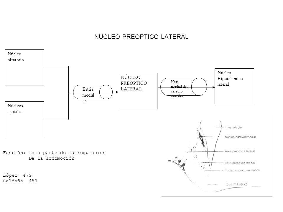 NUCLEO PREOPTICO LATERAL Núcleo olfatorio Núcleos septales NÚCLEO PREOPTICO LATERAL Núcleo Hipotalamico lateral Estria medul ar Haz medial del cerebro