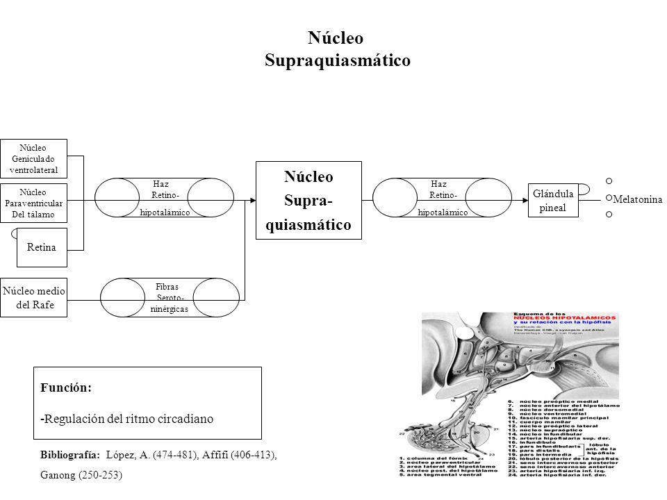 Núcleo Supraquiasmático Retina Núcleo Supra- quiasmático Función: -Regulación del ritmo circadiano Haz Retino- hipotalámico Glándula pineal Melatonina