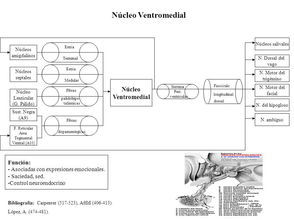 Núcleo Ventromedial Núcleo Lenticular (G. Pálido) Función: - Asociadas con expresiones emocionales. - Saciedad, sed. -Control neuroendocrino Fibras pa