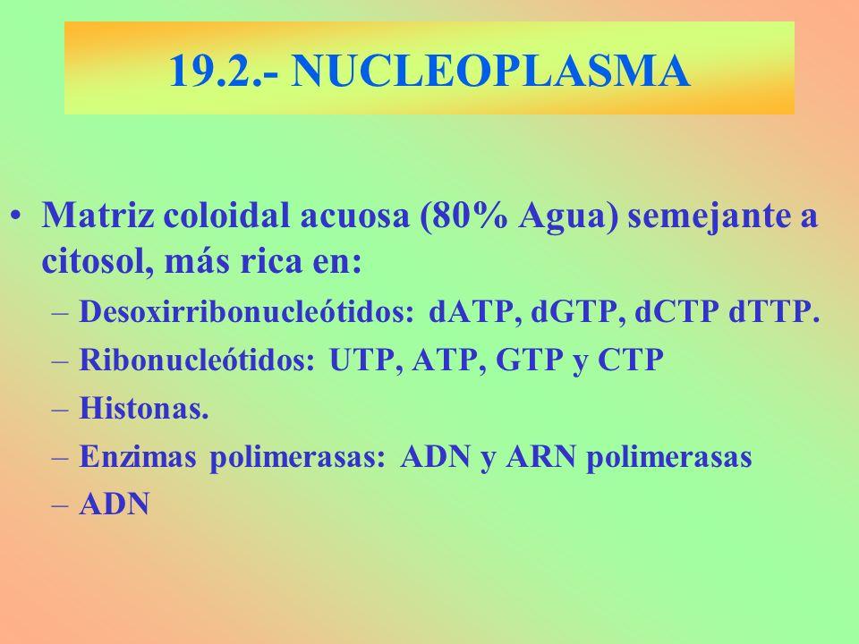 19.2.- NUCLEOPLASMA Matriz coloidal acuosa (80% Agua) semejante a citosol, más rica en: –Desoxirribonucleótidos: dATP, dGTP, dCTP dTTP. –Ribonucleótid