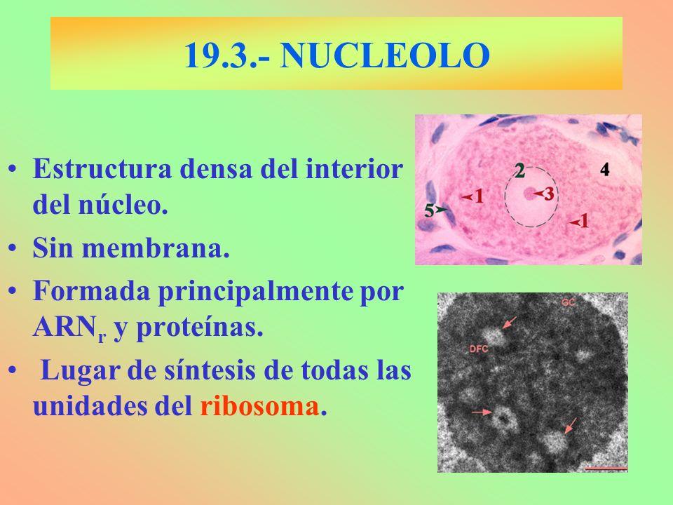 19.3.- NUCLEOLO Estructura densa del interior del núcleo. Sin membrana. Formada principalmente por ARN r y proteínas. Lugar de síntesis de todas las u