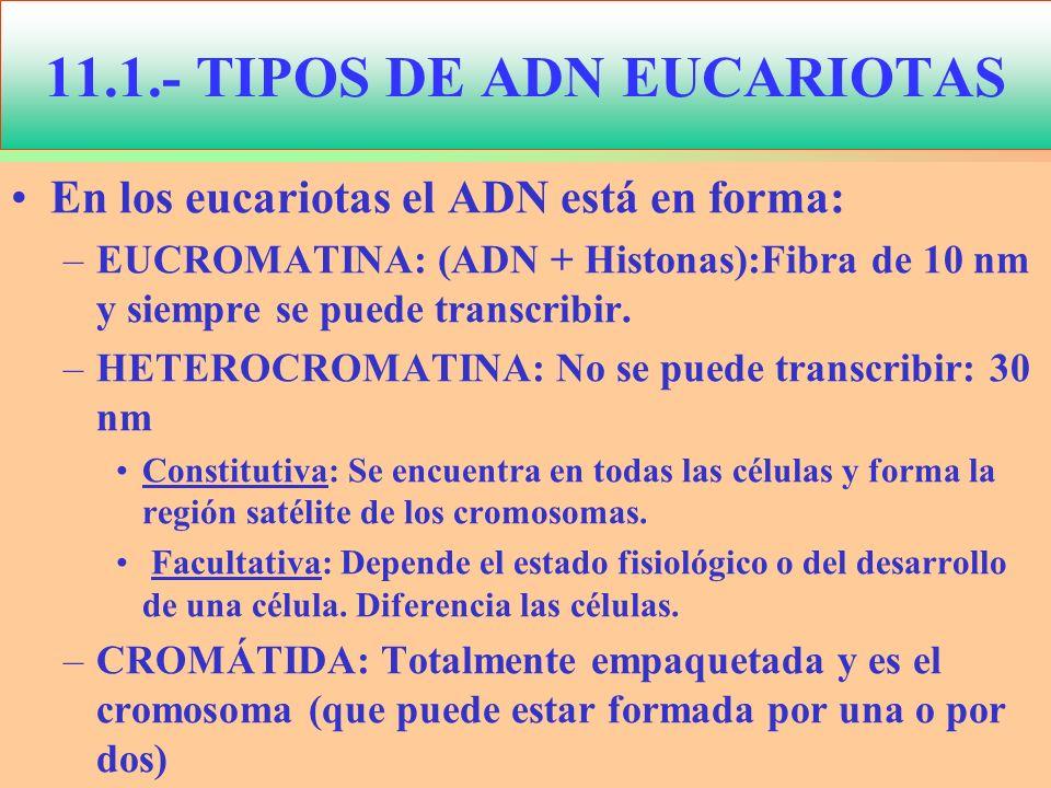 En los eucariotas el ADN está en forma: –EUCROMATINA: (ADN + Histonas):Fibra de 10 nm y siempre se puede transcribir. –HETEROCROMATINA: No se puede tr