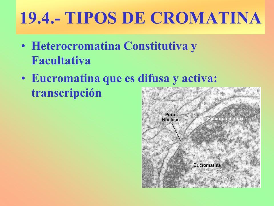 19.4.- TIPOS DE CROMATINA Heterocromatina Constitutiva y Facultativa Eucromatina que es difusa y activa: transcripción