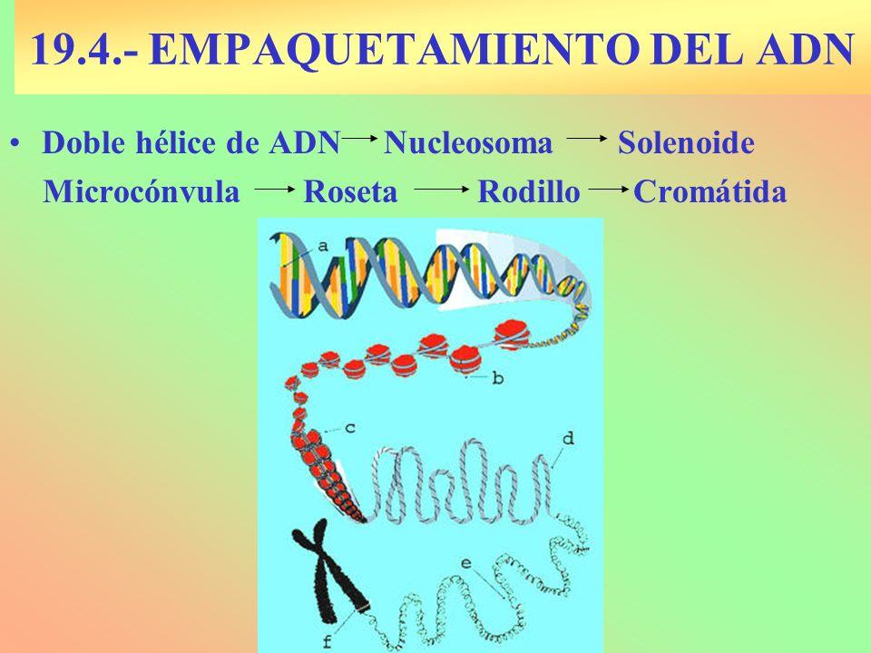 19.4.- EMPAQUETAMIENTO DEL ADN Doble hélice de ADN Nucleosoma Solenoide Microcónvula Roseta Rodillo Cromátida