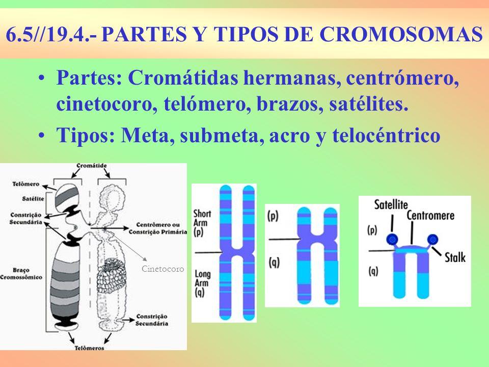 6.5//19.4.- PARTES Y TIPOS DE CROMOSOMAS Partes: Cromátidas hermanas, centrómero, cinetocoro, telómero, brazos, satélites. Tipos: Meta, submeta, acro