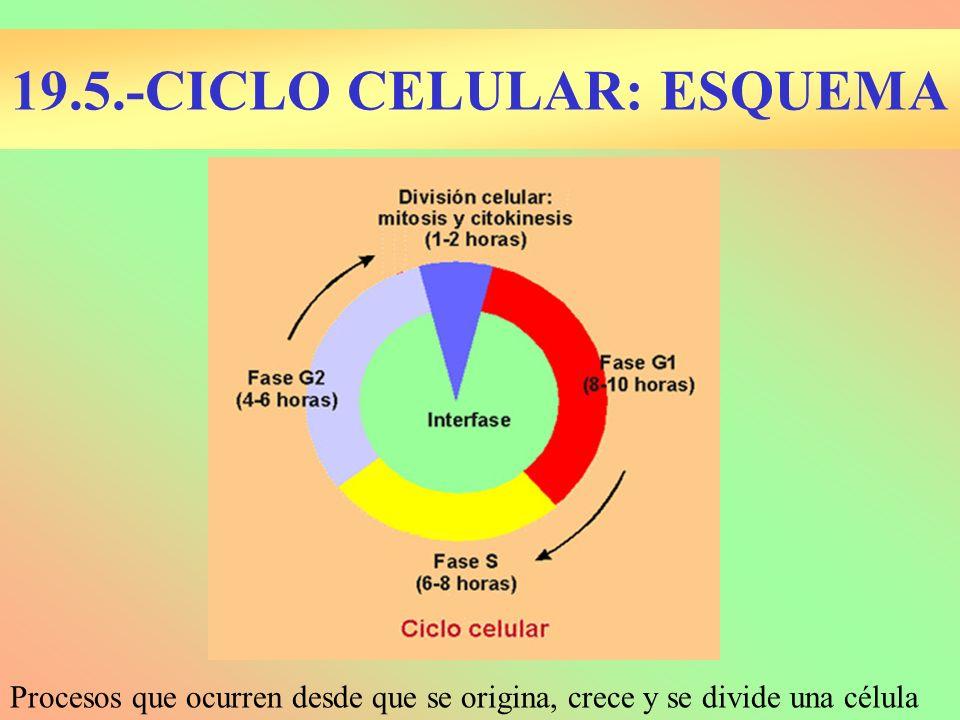 19.5.-CICLO CELULAR: ESQUEMA Procesos que ocurren desde que se origina, crece y se divide una célula
