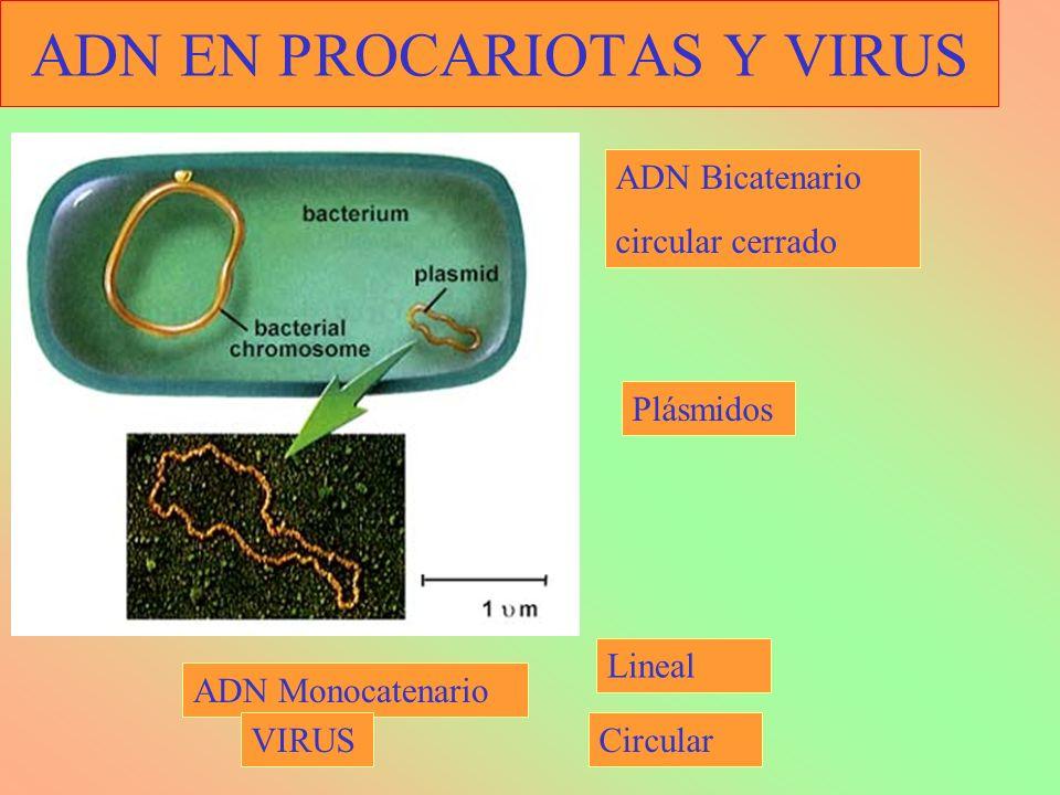 ADN EN PROCARIOTAS Y VIRUS ADN Bicatenario circular cerrado ADN Monocatenario Plásmidos Circular Lineal VIRUS