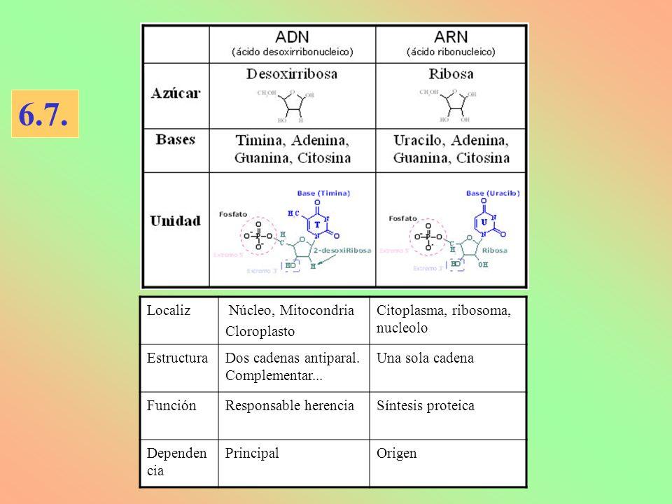 Localiz Núcleo, Mitocondria Cloroplasto Citoplasma, ribosoma, nucleolo EstructuraDos cadenas antiparal. Complementar... Una sola cadena FunciónRespons