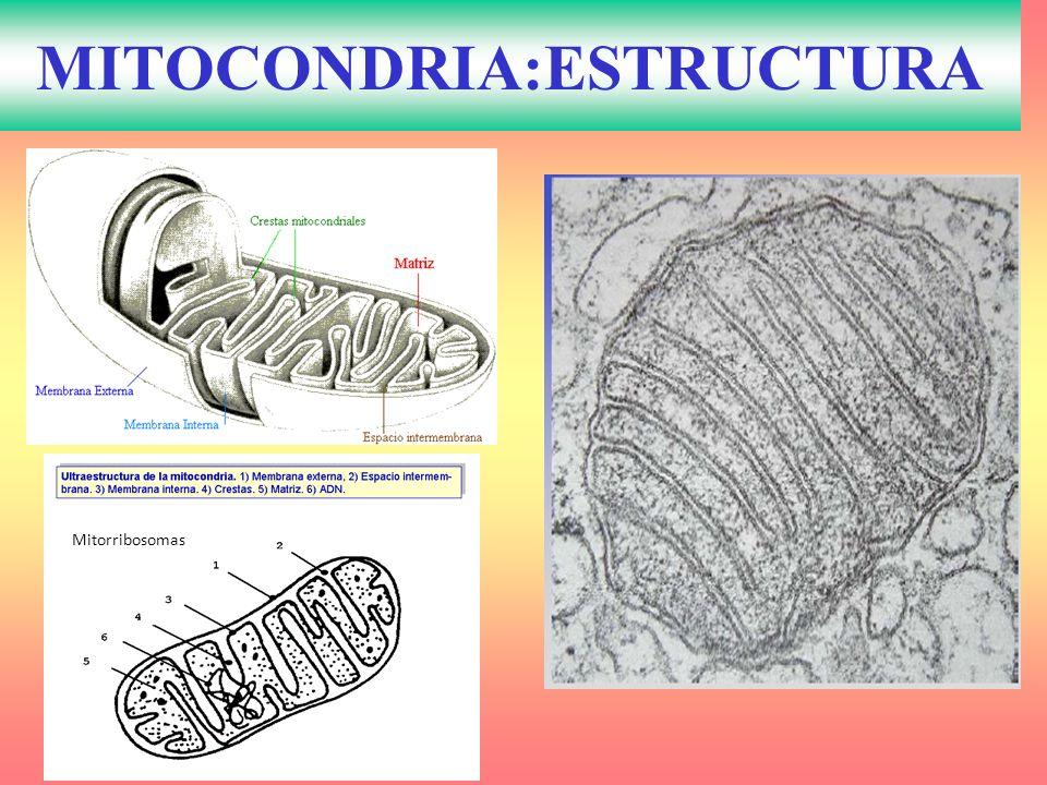 MITOCONDRIA:ESTRUCTURA Mitorribosomas