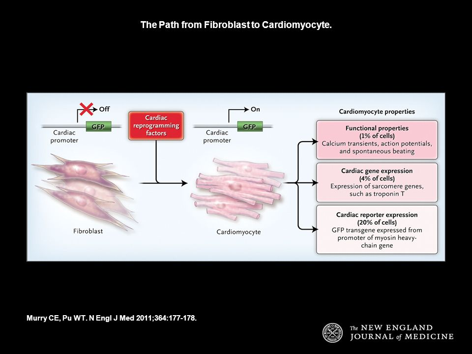 The Path from Fibroblast to Cardiomyocyte. Murry CE, Pu WT. N Engl J Med 2011;364:177-178.