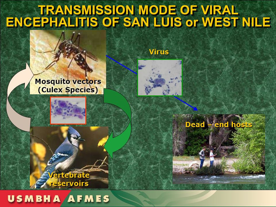 TRANSMISSION MODE OF VIRAL ENCEPHALITIS OF SAN LUIS or WEST NILE Mosquito vectors (Culex Species) Vertebrate reservoirs Dead – end hosts Virus