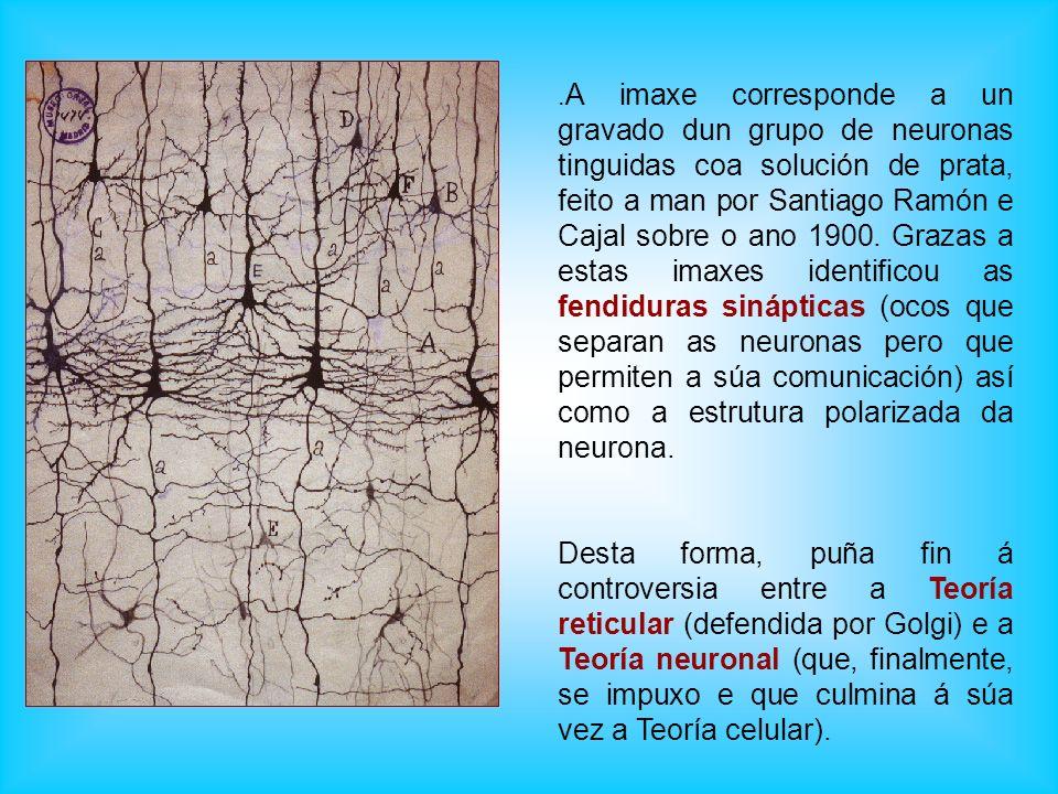 . A imaxe corresponde a un gravado dun grupo de neuronas tinguidas coa solución de prata, feito a man por Santiago Ramón e Cajal sobre o ano 1900. Gra