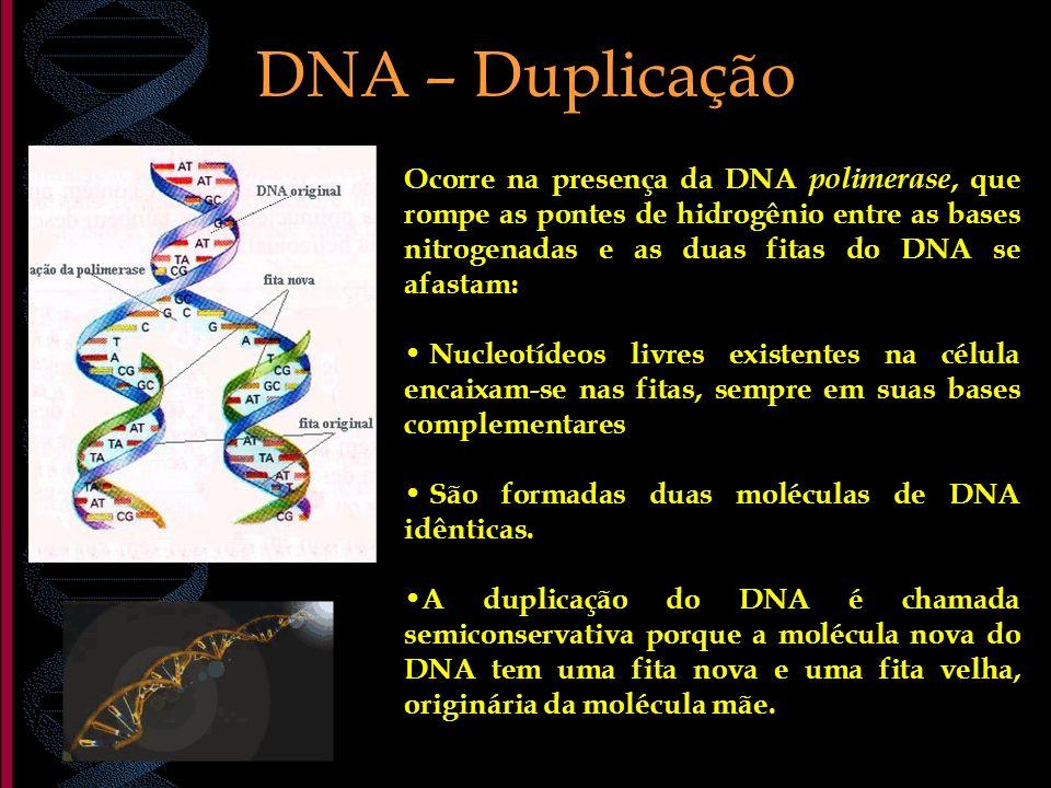 DNA – Duplicação Ocorre na presença da DNA polimerase, que rompe as pontes de hidrogênio entre as bases nitrogenadas e as duas fitas do DNA se afastam