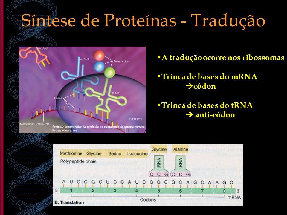 Síntese de Proteínas - Tradução A tradução ocorre nos ribossomas Trinca de bases do mRNA códon Trinca de bases do tRNA anti-códon