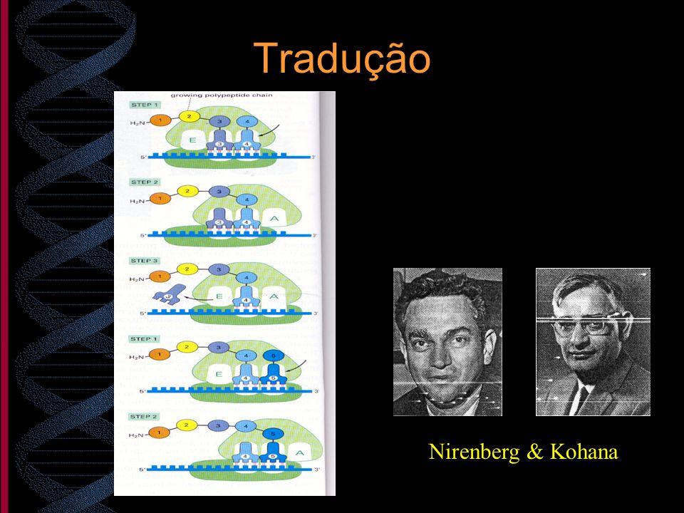 Tradução Nirenberg & Kohana