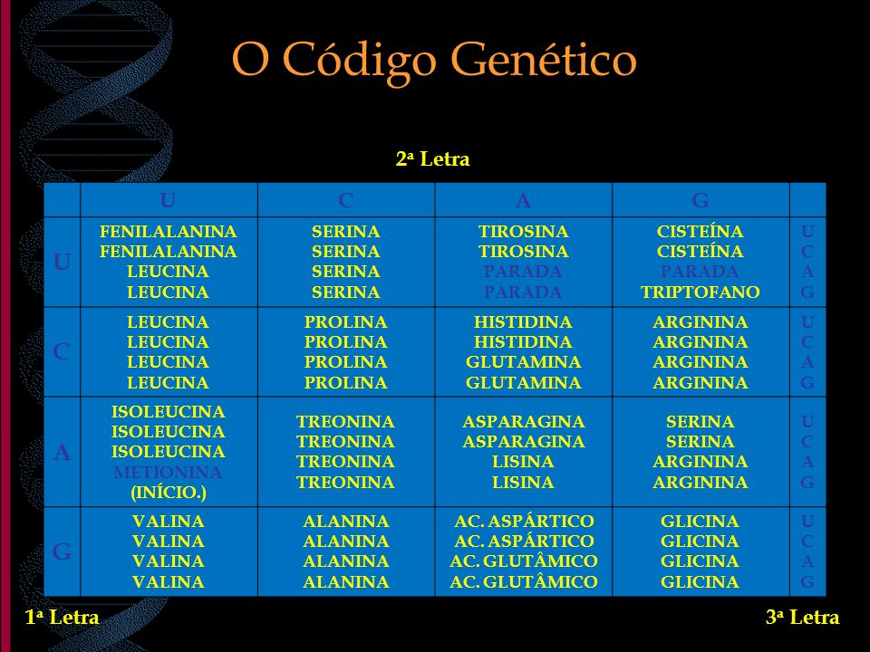 O Código Genético UCAG U FENILALANINA LEUCINA SERINA TIROSINA PARADA CISTEÍNA PARADA TRIPTOFANO UCAGUCAG C LEUCINA PROLINA HISTIDINA GLUTAMINA ARGININ