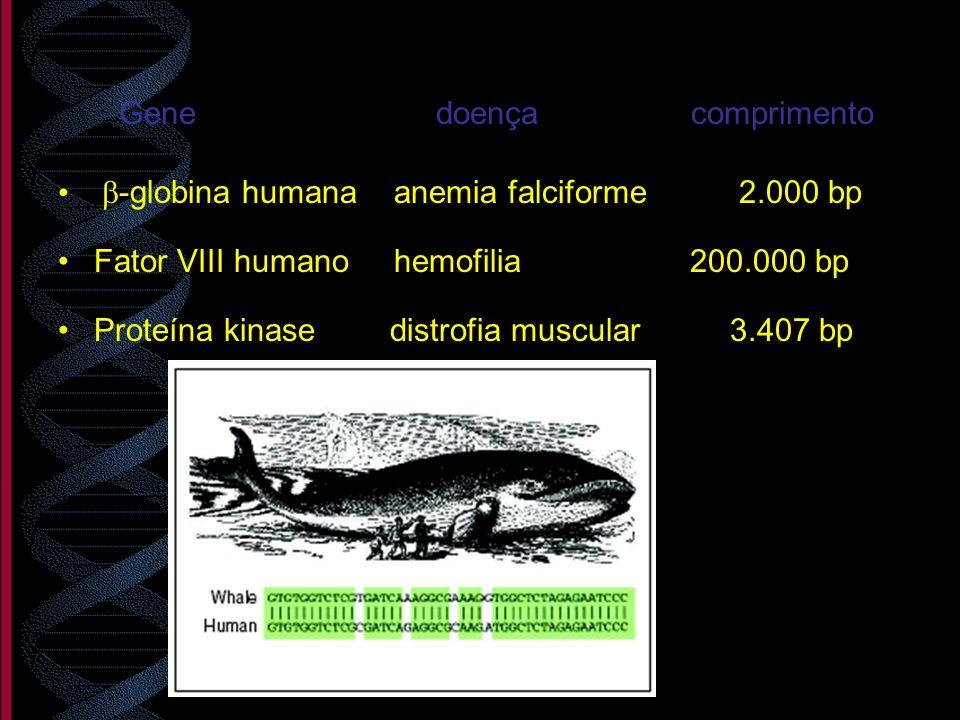 Gene doença comprimento -globina humana anemia falciforme 2.000 bp Fator VIII humano hemofilia 200.000 bp Proteína kinase distrofia muscular 3.407 bp