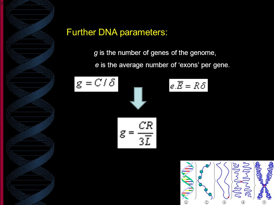 Further DNA parameters: g is the number of genes of the genome, e is the average number of exons per gene.