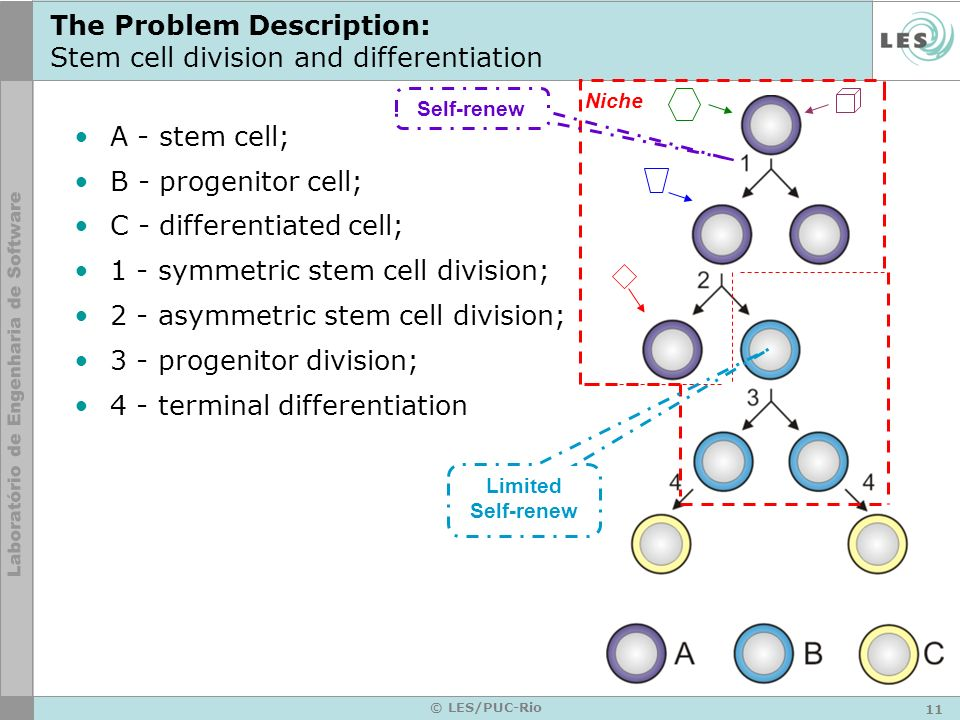 11 © LES/PUC-Rio The Problem Description: Stem cell division and differentiation A - stem cell; B - progenitor cell; C - differentiated cell; 1 - symm