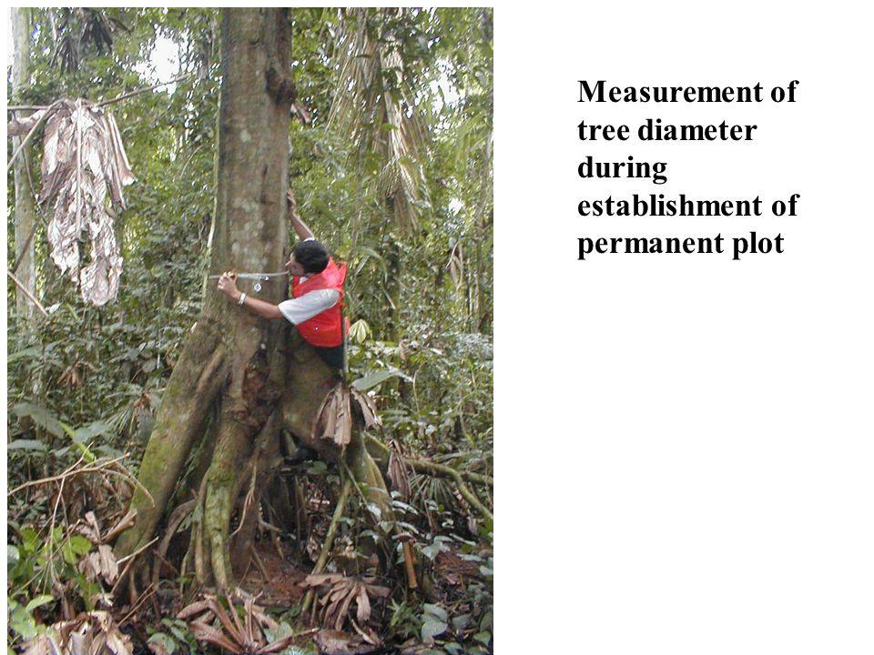 Measurement of tree diameter during establishment of permanent plot