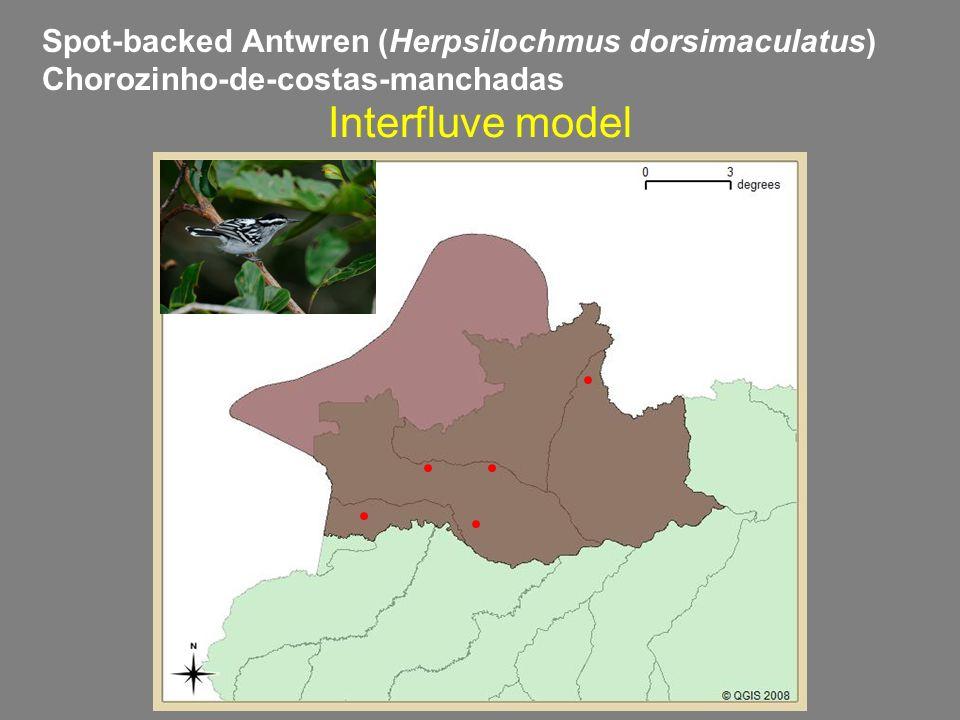 Spot-backed Antwren (Herpsilochmus dorsimaculatus) Chorozinho-de-costas-manchadas Interfluve model