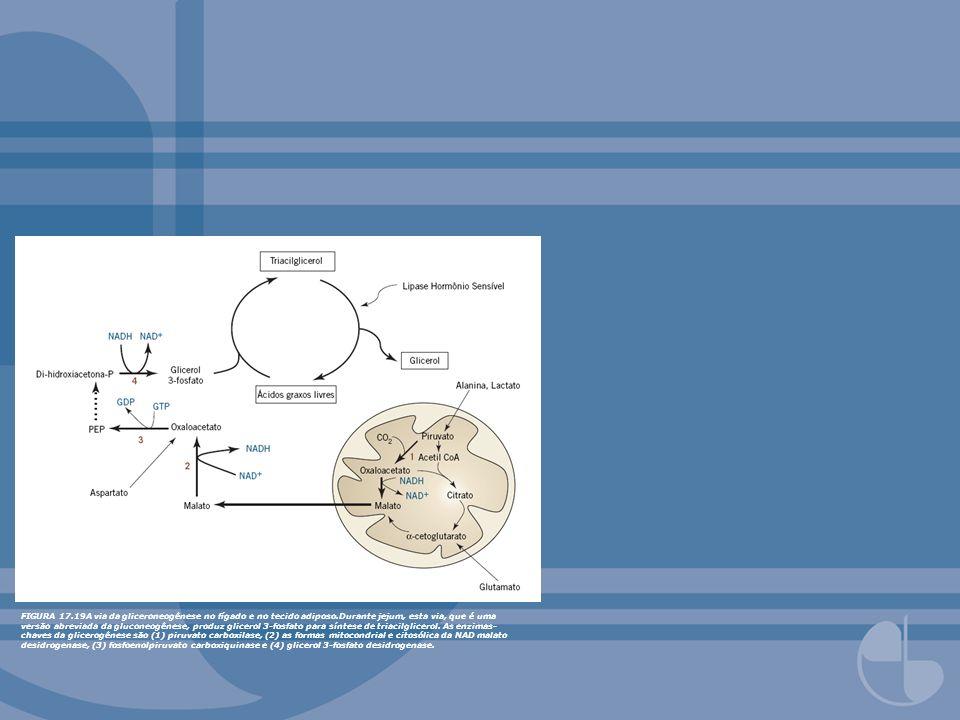 FIGURA 17.19A via da gliceroneogênese no fígado e no tecido adiposo.Durante jejum, esta via, que é uma versão abreviada da gluconeogênese, produz glic