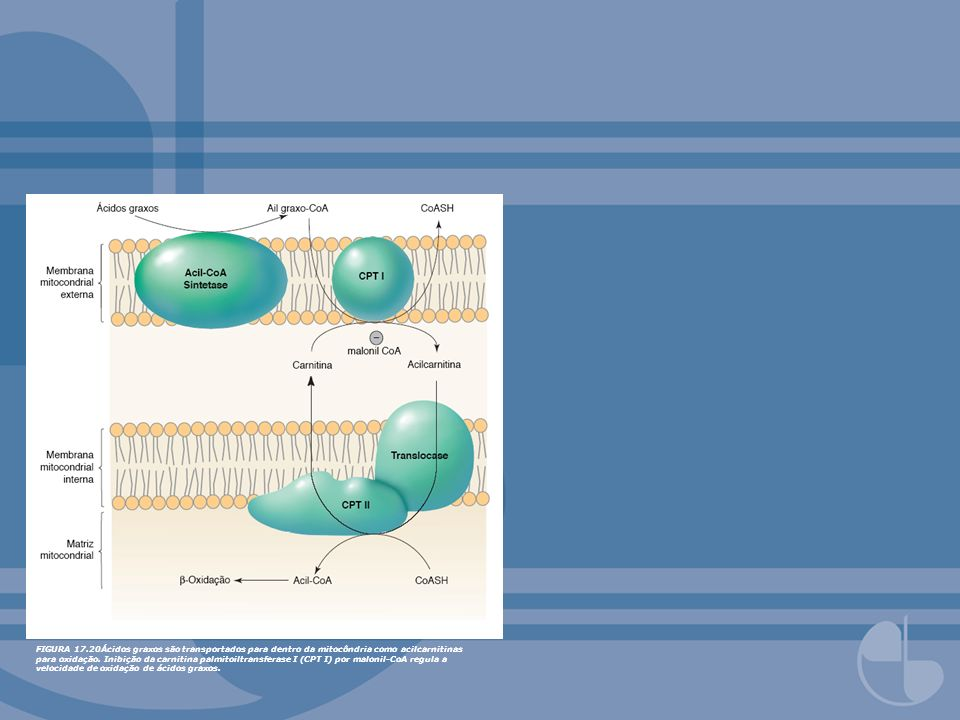 FIGURA 17.20Ácidos graxos são transportados para dentro da mitocôndria como acilcarnitinas para oxidação. Inibição da carnitina palmitoiltransferase I