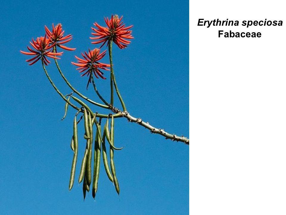Erythrina speciosa Fabaceae