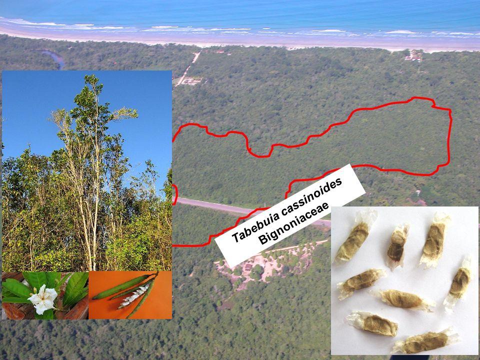 Tabebuia cassinoides Bignoniaceae
