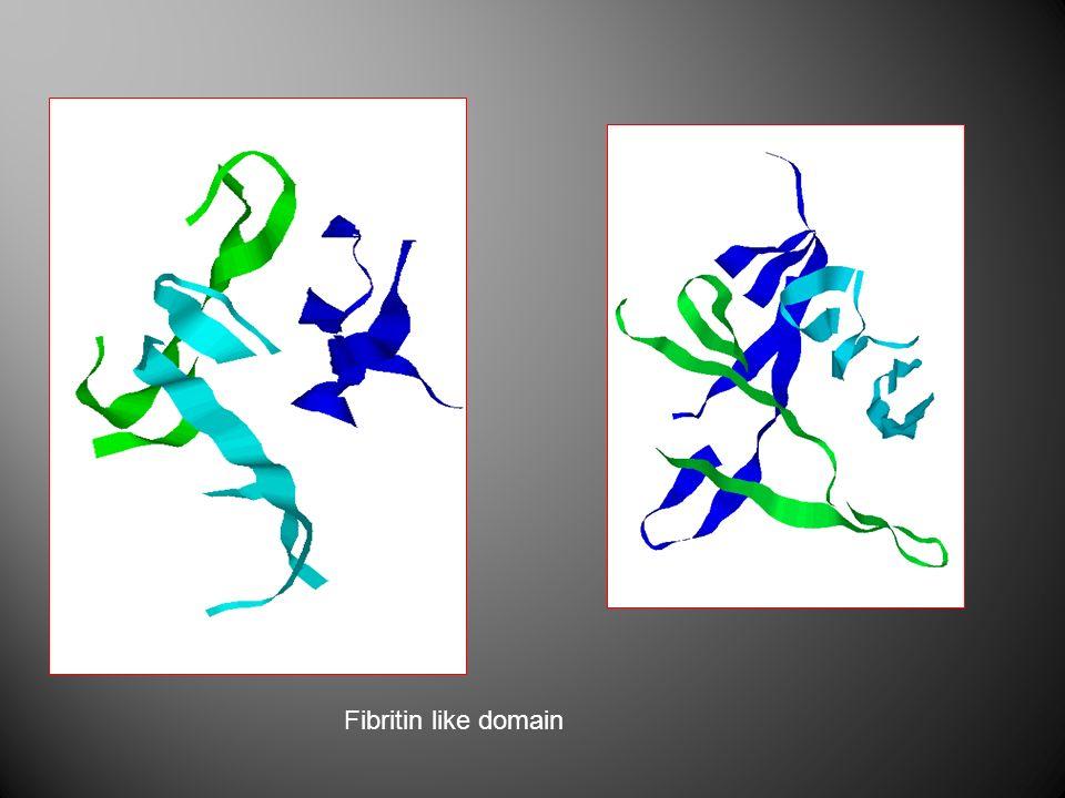 Fibritin like domain