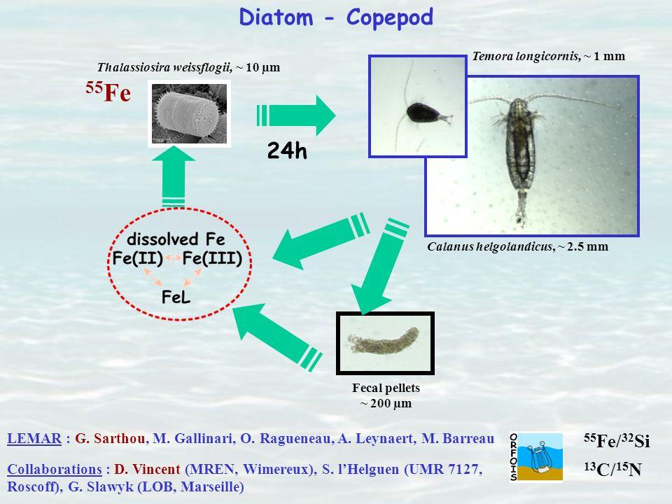 Diatom - Copepod 55 Fe Thalassiosira weissflogii, ~ 10 µm Temora longicornis, ~ 1 mm Calanus helgolandicus, ~ 2.5 mm 24h Fecal pellets ~ 200 µm LEMAR
