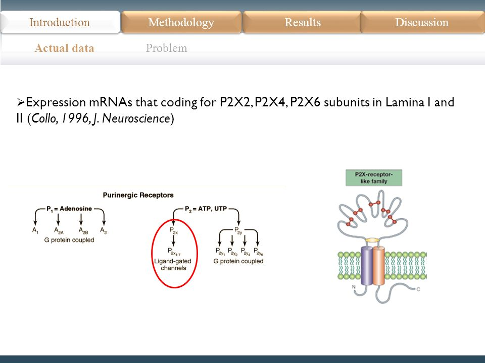 Actual data Problem Introduction Methodology Results Discussion Expression mRNAs that coding for P2X2, P2X4, P2X6 subunits in Lamina I and II (Collo, 1996, J.