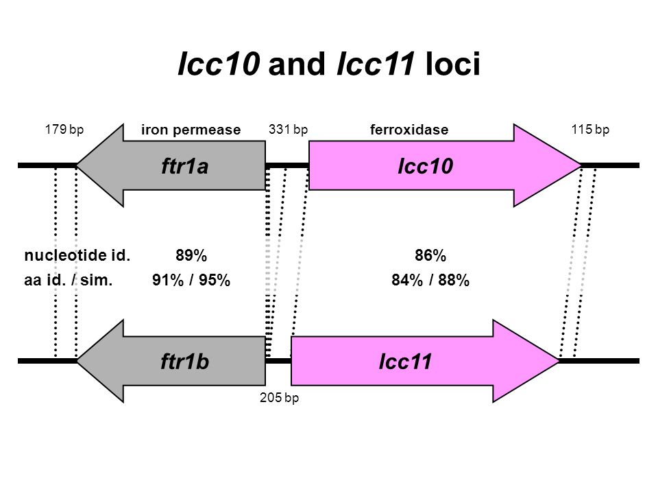 ftr1a ftr1blcc11 lcc10 lcc10 and lcc11 loci nucleotide id.89%86% aa id. / sim.91% / 95%84% / 88% 331 bp115 bp179 bp 205 bp iron permeaseferroxidase