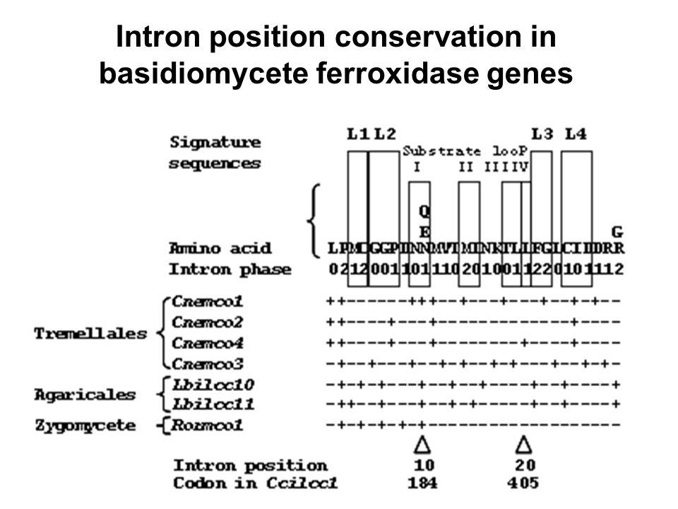 Intron position conservation in basidiomycete ferroxidase genes