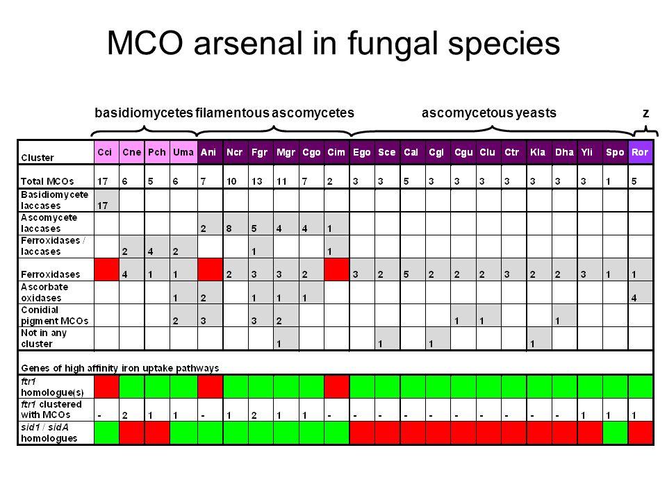 MCO arsenal in fungal species basidiomyceteszfilamentous ascomycetesascomycetous yeasts