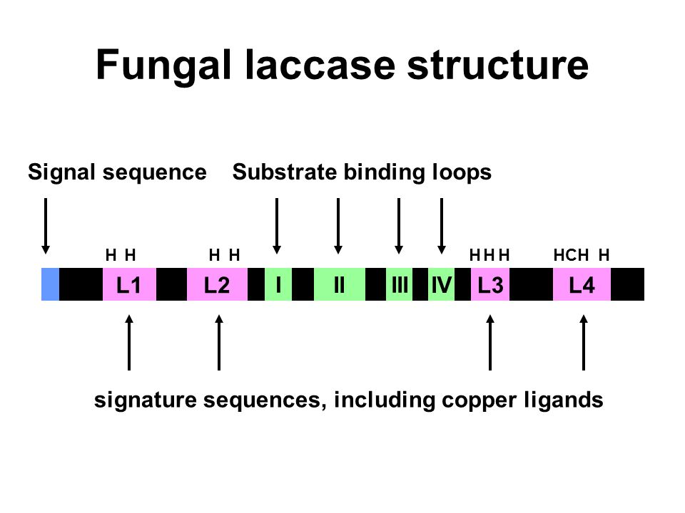Fungal laccase structure L1L2L4L3 Signal sequence signature sequences, including copper ligands HHHHHHHHCHH Substrate binding loops I II III IV