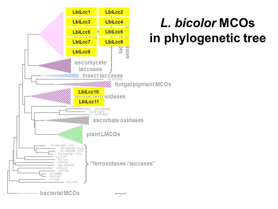 L. bicolor MCOs in phylogenetic tree LbiLcc1 LbiLcc2 LbiLcc3 LbiLcc4 LbiLcc5 LbiLcc6 LbiLcc7 LbiLcc8 LbiLcc9 LbiLcc11 LbiLcc10