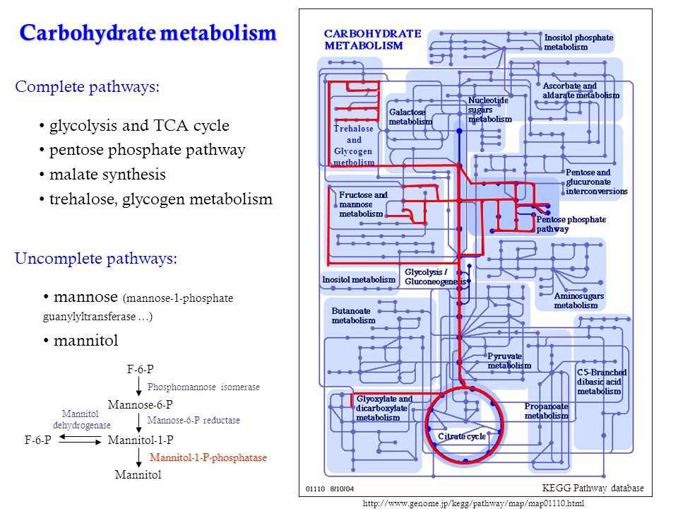 Carbohydrate metabolism KEGG Pathway database glycolysis and TCA cycle pentose phosphate pathway malate synthesis trehalose, glycogen metabolism Complete pathways: Uncomplete pathways: mannose (mannose-1-phosphate guanylyltransferase …) mannitol F-6-P Mannose-6-P Mannitol Mannitol-1-PF-6-P Phosphomannose isomerase Mannose-6-P reductase Mannitol-1-P-phosphatase Mannitol dehydrogenase http://www.genome.jp/kegg/pathway/map/map01110.html Trehalose and Glycogen metbolism