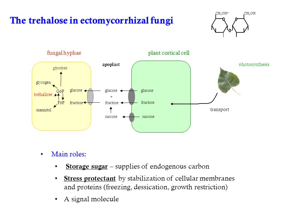 The trehalose in ectomycorrhizal fungi glucose fructose glucose fructose sucrose fructose glucose + F6P glycogen trehalose mannitol glycolysis plant cortical cell fungal hyphae apoplast G6P CH 2 OHCH 2 OH* Main roles:Main roles: Storage sugar – supplies of endogenous carbon Stress protectant by stabilization of cellular membranes and proteins (freezing, dessication, growth restriction) A signal molecule photosynthesis transport