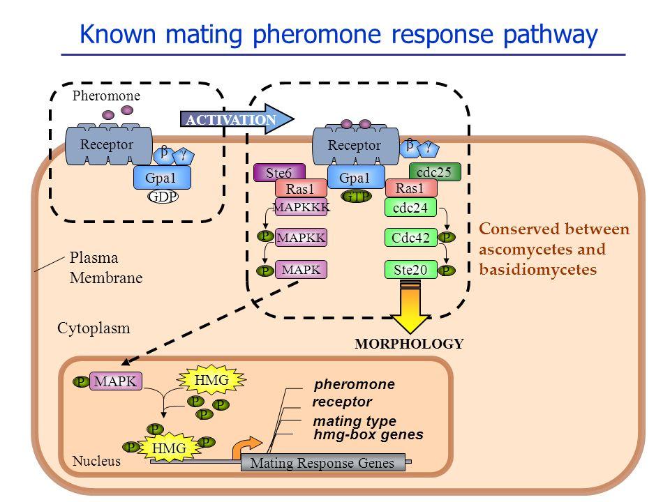 Known mating pheromone response pathway cdc25 Ste6 Gpa1 β γ GDP Receptor GTP Pheromone Gpa1 β γ HMG P P P P Ras1 MAPKKK P MAPKK P MAPK ACTIVATION cdc2