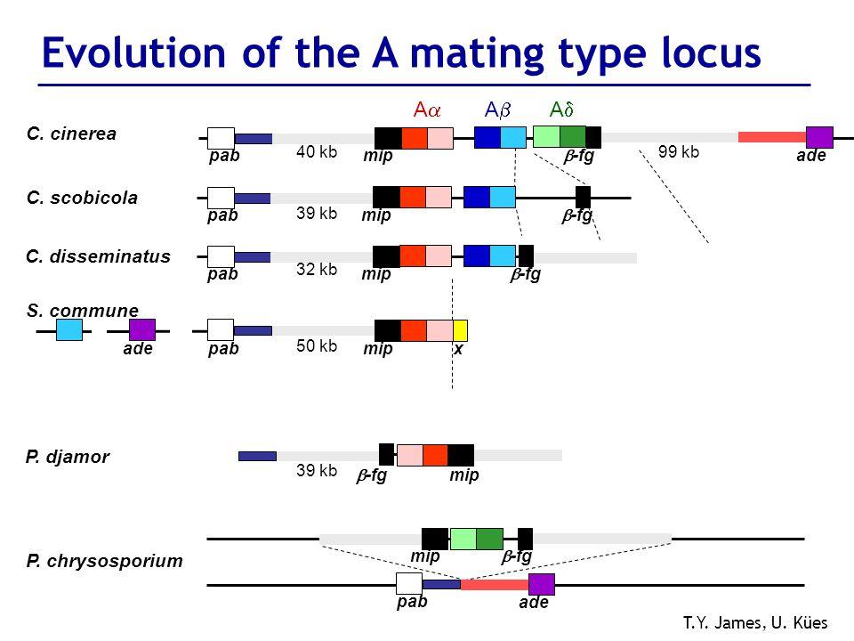 Evolution of the A mating type locus P. chrysosporium adepabmipx S. commune 50 kb mip -fg pab ade T.Y. James, U. Kües P. djamor 39 kb mip -fg C. disse