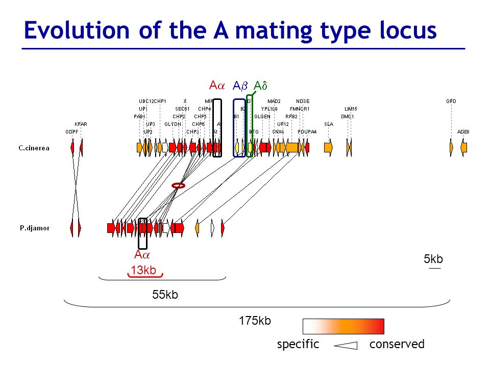 55kb 175kb 5kb specificconserved 13kb Evolution of the A mating type locus A A A A