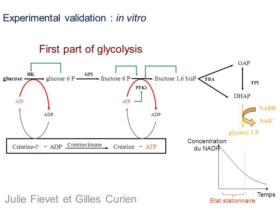 Experimental validation : in vitro glucosefructose 1,6 bisP GAP DHAP glycérol 3 P NADH NAD + GPI FBA TPI Créatine-P + ADPCréatine + ATP Créatine kinas