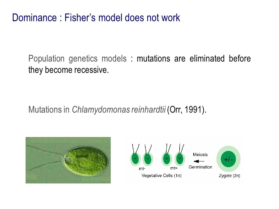 Dominance : Fishers model does not work Population genetics models : mutations are eliminated before they become recessive. Mutations in Chlamydomonas