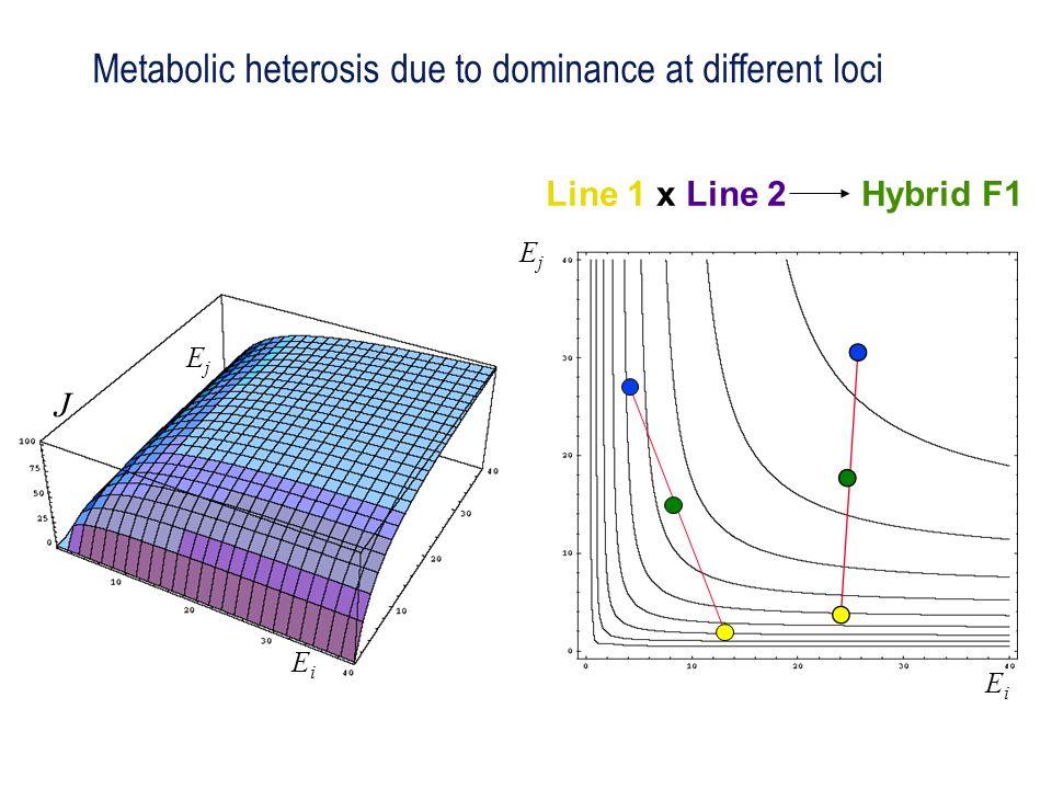 J EjEj EiEi EjEj EiEi Line 1 x Line 2Hybrid F1 Metabolic heterosis due to dominance at different loci