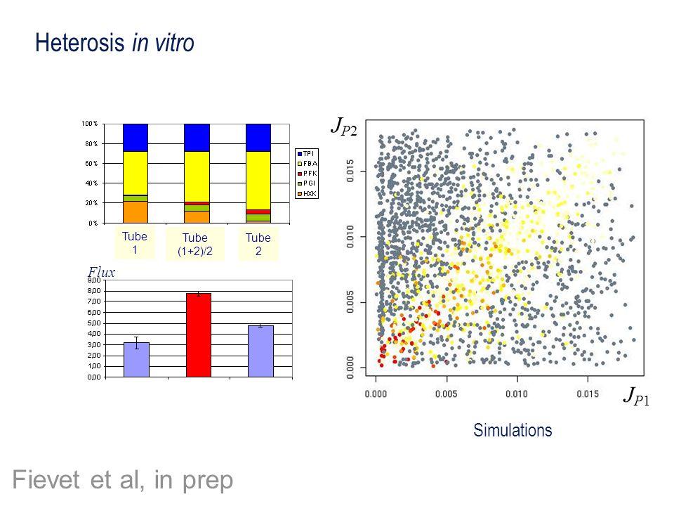 JP1JP1 JP2JP2 Heterosis in vitro Tube 1 Tube 2 Tube (1+2)/2 Flux Simulations Fievet et al, in prep